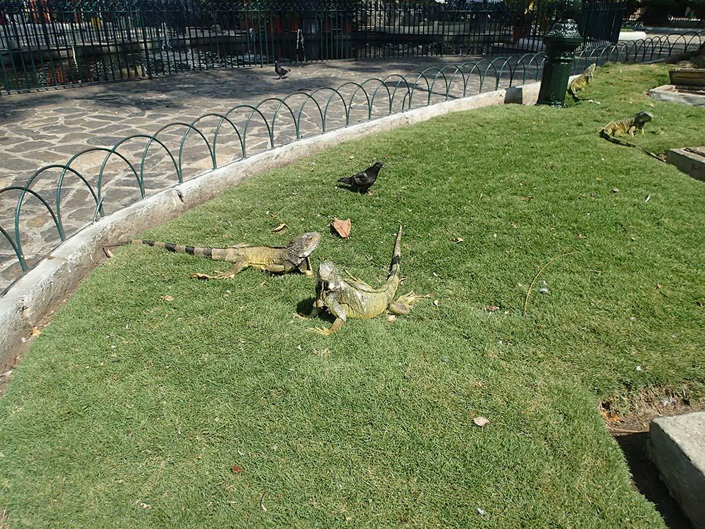 Игуаны в парке Parque Seminario