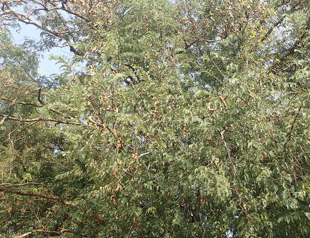 Дерево Тамаринда