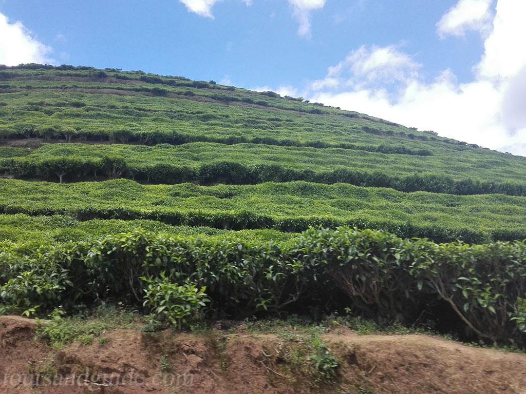 Плантация чая в Руанде
