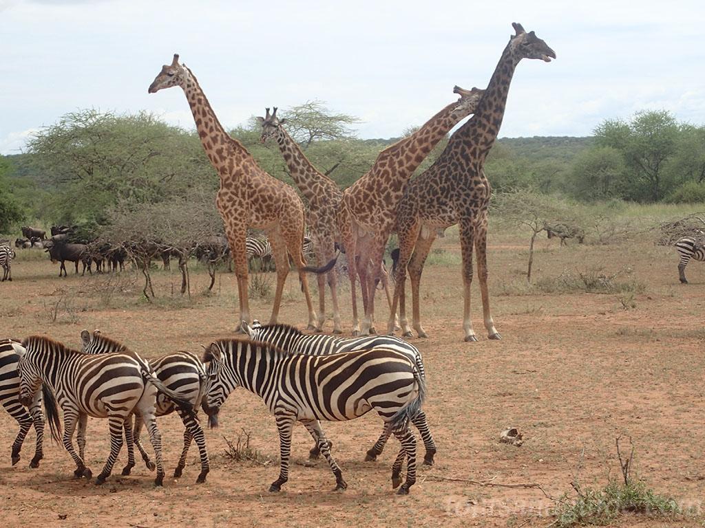 Жирафы и зебры