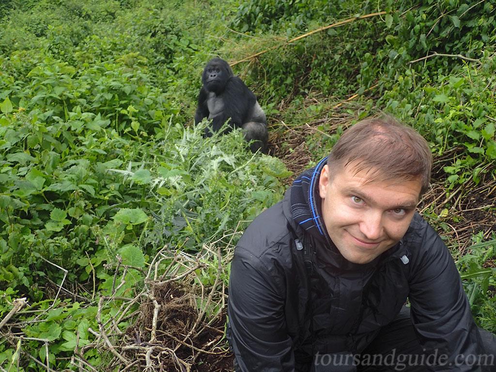 Горная горилла в Национальном парке Вулканов в Руанде
